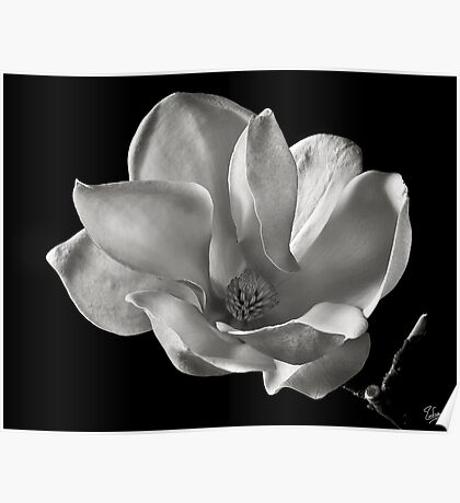 Chinese Magnolia in Black and White Poster