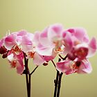 Orchids by Poun