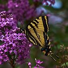 Swallowtail and Lilacs by Chris Morrison