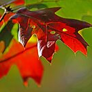 Autumn Oak Leaves photo by Lisa Holmgreen