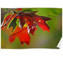 Autumn Oak Leaves photo Poster