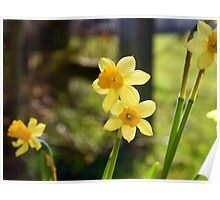 Mini Daffs Poster
