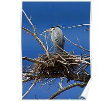 Blue Heron on nest Poster