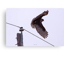 Dark Phase Redtail Hawk in flight Canvas Print