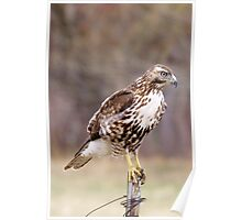 Immature Redtail on fence post Poster
