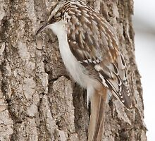 Brown Creeper by DigitallyStill