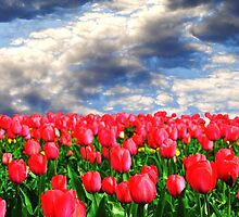 Tulip Garden by Christine Lake