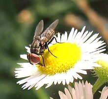 fly on wild aster by SusieG