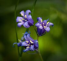 Bluebells by photontrappist