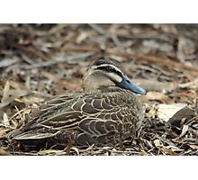 Blending in - the masked duck Photographic Print
