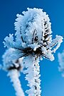 Frosted Teasel by David Isaacson