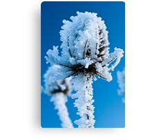 Frosted Teasel Canvas Print