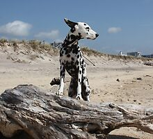 Dalmatian Dog Ready for Take Off-color by lisa hartman