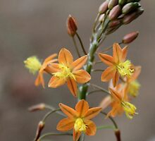 Bulbine frutescens –'healing plant' by Rina Greeff