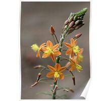 Bulbine frutescens –'healing plant' Poster