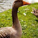 GreyLag Goose by Dean Messenger