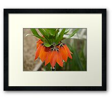 Orange flower ( type uknown) Framed Print