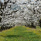 Under the Apple Trees by solena432