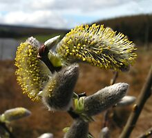 Willow Catkins by Kat Simmons