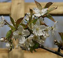 Cherry Tree Blossom by Judith Christian-Carter