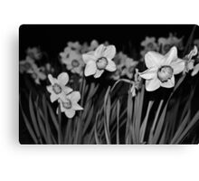 Evening Daffodils - Lindfield Canvas Print