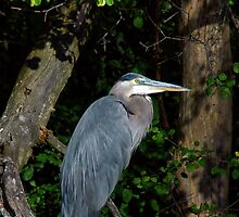 Great Blue Heron by NVSphoto