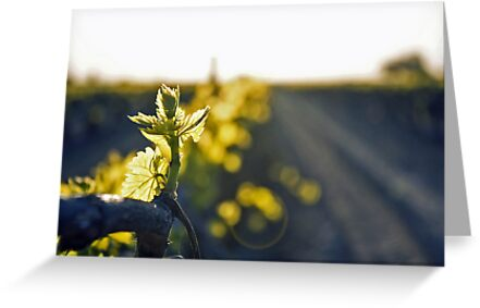 California Vineyards by Jesse  B.