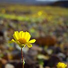 Death Valley National Park Blossom by Jesse  B.