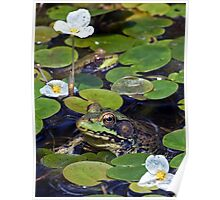 A Frog and a Flower - My Backyard Pond Poster