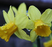 Daffodils with Big Raindrops by Jack Stinton
