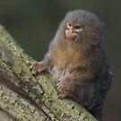 Pygmy marmoset by Lindie Allen
