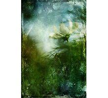 Experimental Garden Cosmos Photographic Print