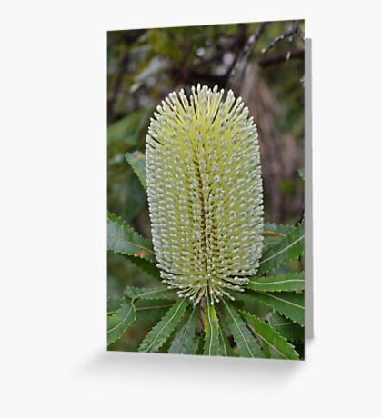 Banksia blossom Greeting Card