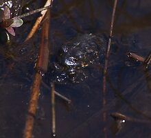 Mating Black Toads by Chris Morrison