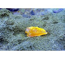 Golden leaf on beach rock, Puerto Rico Photographic Print