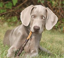 Weim puppy chewng a stick by lisa hartman
