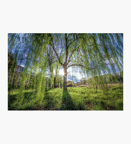 Weep Willow, Weep Photographic Print