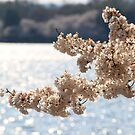Cherry Blossoms In DC by Elspeth  McClanahan