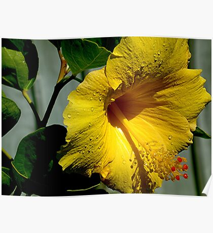Hibiscus in the rain....... Poster
