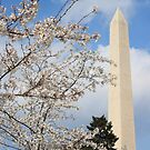 Washington Monument and the Cherry Blossoms by Elspeth  McClanahan
