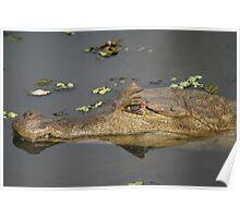 Caiman crocodilus_Manaus, Brazil Poster