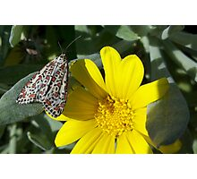 Heliotrope Moth (Utetheisa pulchelloides) - Adelaide, South Australia Photographic Print