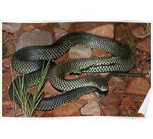 Pseudechis australis_Ormiston gorge area_NT Poster
