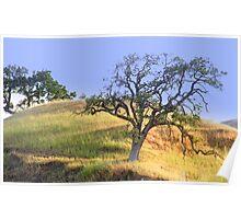hillside slow growth oak tree Poster