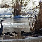 Great Blue Heron - Ice Blue by Robin Clifton