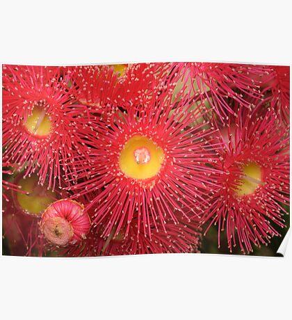 Red-flowering Gum Flower Poster