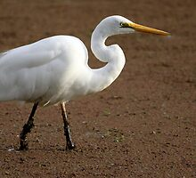 Cattle Egret by Joy Rensch