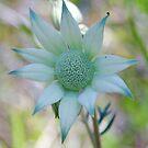 Flannel Flower by Liz Worth