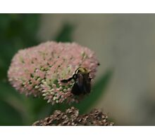 Bumble Bee Bliss Photographic Print