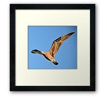 Albatross Framed Print
